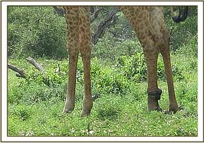 A giraffe is seen with a snare injury