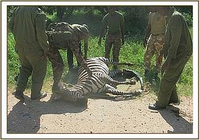 The zebra is caught and translocated