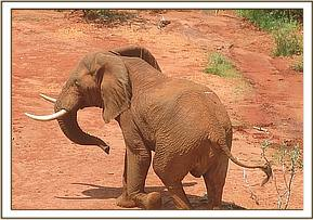The injured elephant is seen