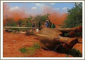 Ropes are used to flip the elephant