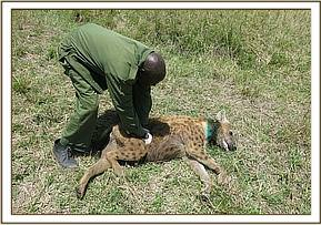 The hyena was revived after treatment
