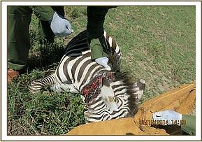 A snare is tightly wrapped around the zebra's neck