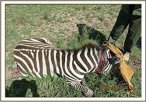 The zebra's eyes are covered for the treatment