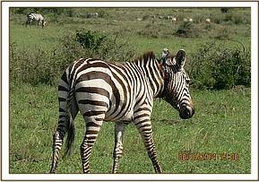 The zebra moves off to join it's herd after treatment