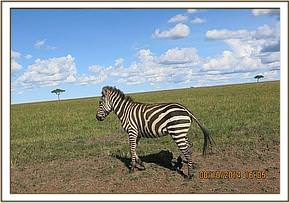 This zebra has a loose wire snare around the neck