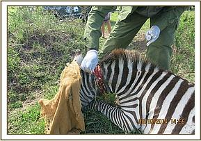 First the vet removes the snare