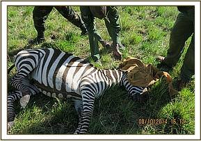 The zebras eyes are covered as the snare is removed