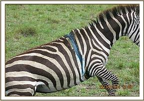 The pregnant zebra was quick to her feet