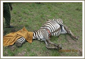 This zebra had a tight wire snare wrapped around her girth