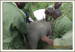 The young elephant is captured and secured