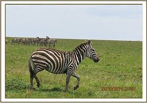 Free from the snare the zebra rejoins her herd