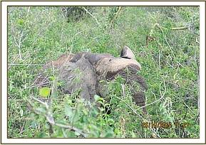 The elephant wakes up and moves off into the bush