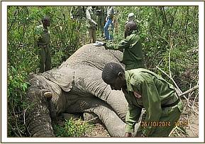 The elephant is sedated for treatment