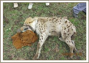 The hyena's eyes were covered for treatment