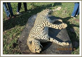 A cheetah died under mysterious circumstances