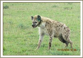The hyena is revived after successful treatment