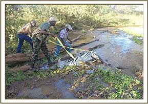 Getting the zebra out of the stream after darting
