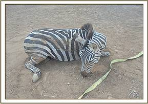 The zebra in a diferent position for examination