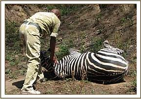 Helping the zebra up