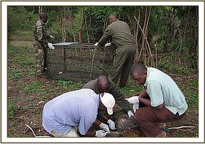 Taking a blood sample from the baboon