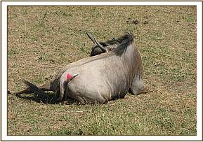 An immobilized wildebeest after being darted