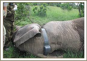 Collar fitted on an elephant