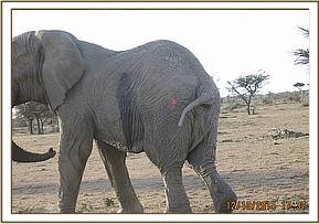 The elephant is darted for treatment and assessment