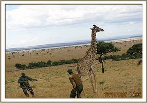 The giraffe is assisted to lie down with ropes