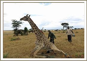 The giraffe gets to its feet