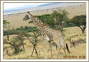 The giraffe has a snare around the limb