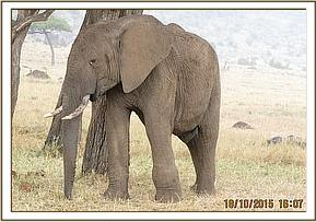 This elephant is assessed but no treatment required