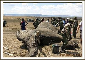 All hands on deck to help this elephant
