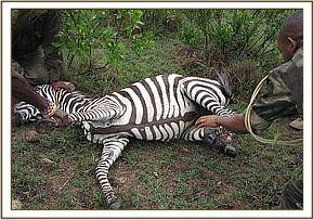 Immobilizing the zebra after it is darted