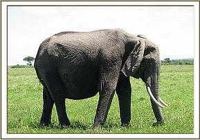 The elephant had a deep penetrating wound on the right side of the abdomen