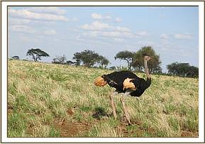 The ostrich is on its way again, free from the snare