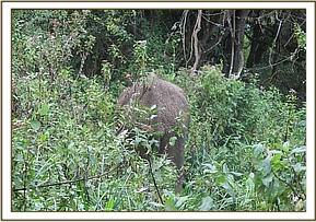 The vet darts the elephant from foot in thick bush