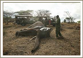 The team attend to the speared elephant