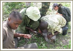 Taking a blood sample from a warthog