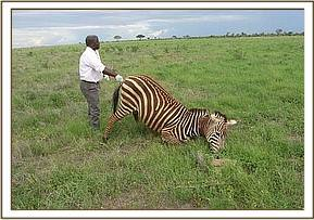 The zebra after it is darted