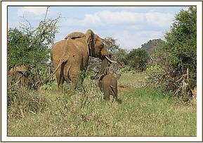 Darting the cow mother to secure her elephant calf