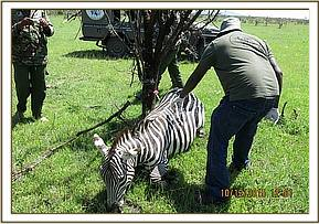 Safely immobilizing the Zebra