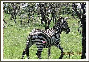 Darting the Zebra for treatment