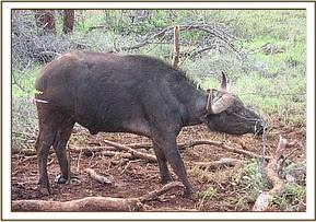 The snared buffalo is darted