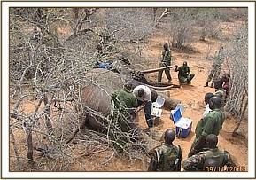 Treating a sick elephant