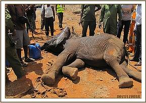 The elephant needs intensive care and is taken to Voi Stockades