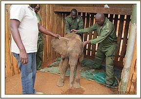 The elephant can stand after a life saving drip