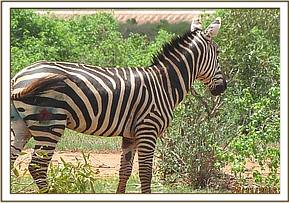 The zebra moves off but has guarded prognosis
