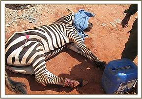 An injured zebra is treated