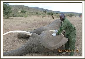 An elephant bull is collared