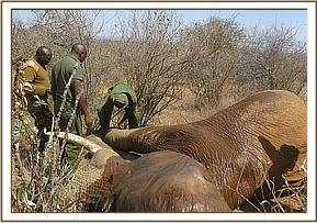 The Team treat an elephant for bullet wounds